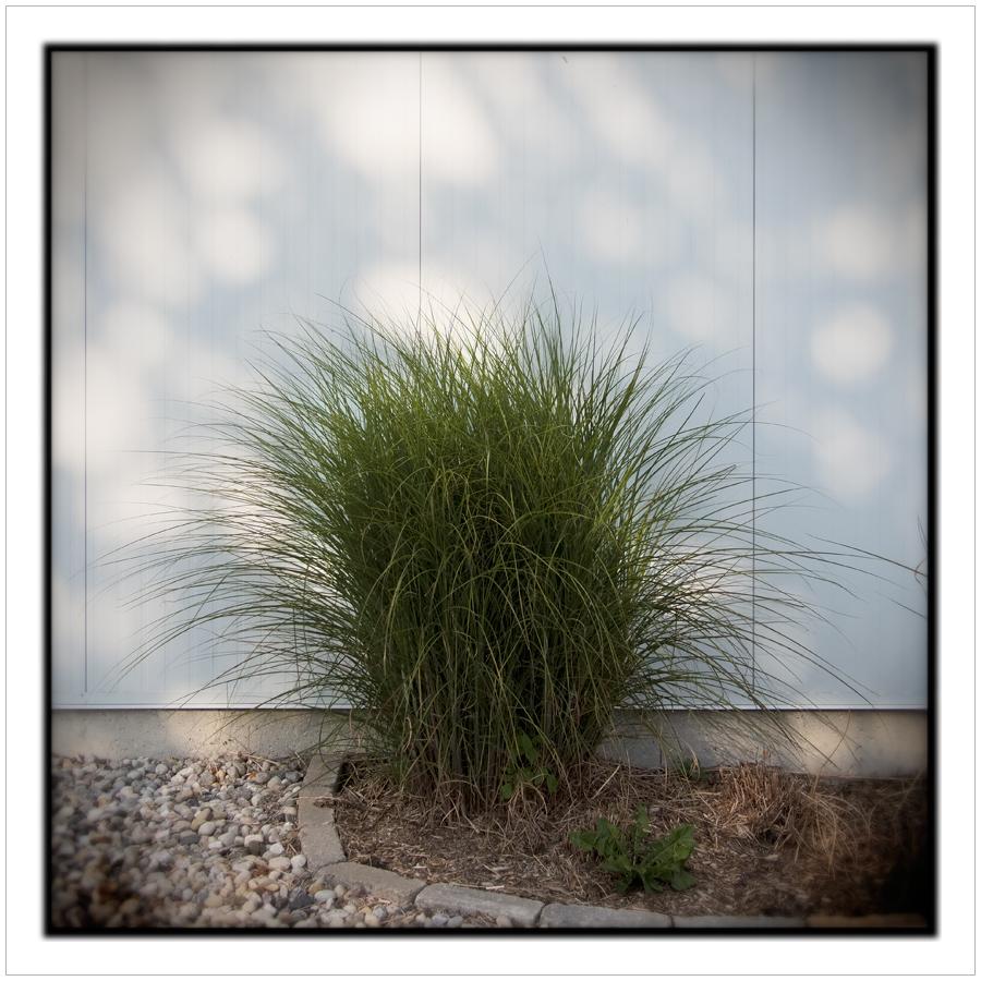 rink shrub  /  grasses   ~ Cardinal, ONT. CA. • (embiggenable)