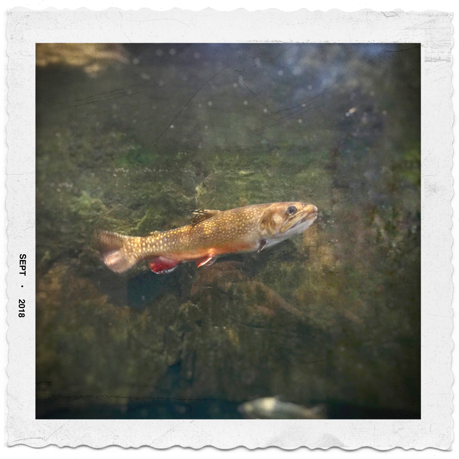 trout/Wild Center ~ (embiggenable) • iPhone