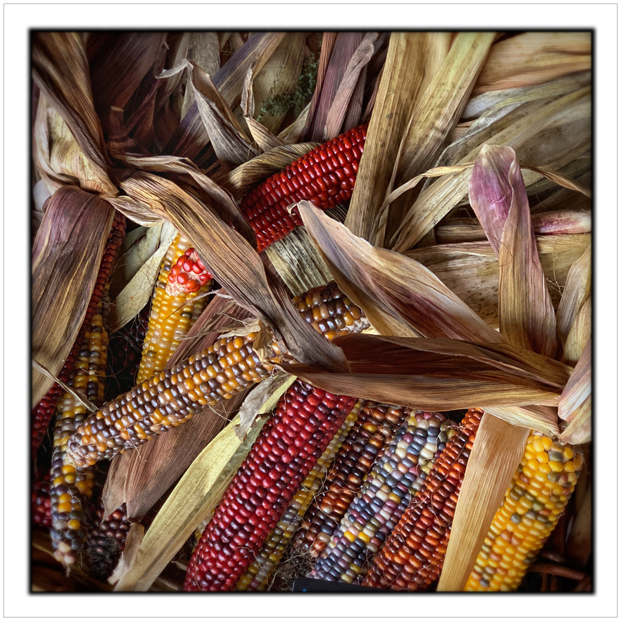 Indian corn   ~ (embiggenable) • iPhone Xs Max