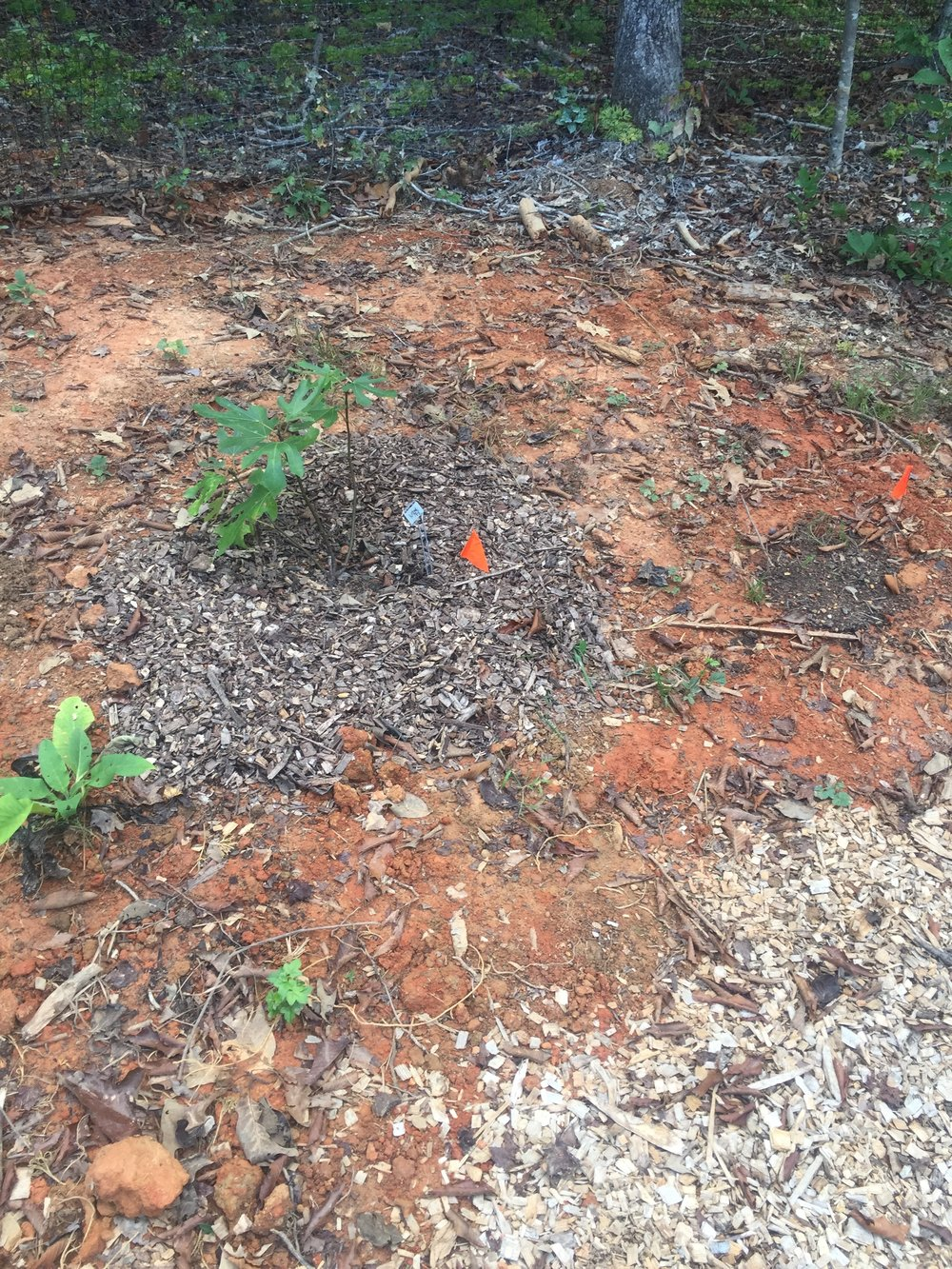 baby fig - Where it was possible and made sense, I did plantings of mutually beneficial plants - for example - this one is a fig + yarrow + comfrey. The yarrow will bring in beneficial pollinators that support the fig and the comfrey will help keep down weeds at the base while the fig gets stronger and bigger, will add incredible nutrients and minerals to the soil when its leaves drop, and also attracts pollinators. I can also use both the yarrow and comfrey in my medicine making!It's not looking like much at the moment but I'm excited to see how it will all fill in 3, 5...10 years down the road!Do be in touch with any questions or comments, I love hearing from you and sharing ideas!
