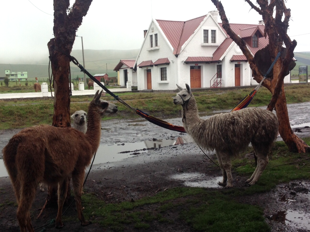 Llama and Alpaca are common here. These guys greet us at a high altitude railway station 11,500 feet above sea level.