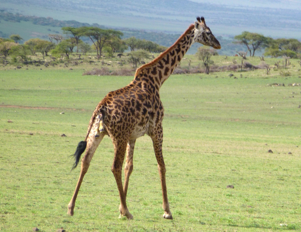A giraffe trots on while giving birth.