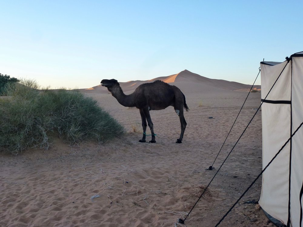 A random camel wanders into our camp.