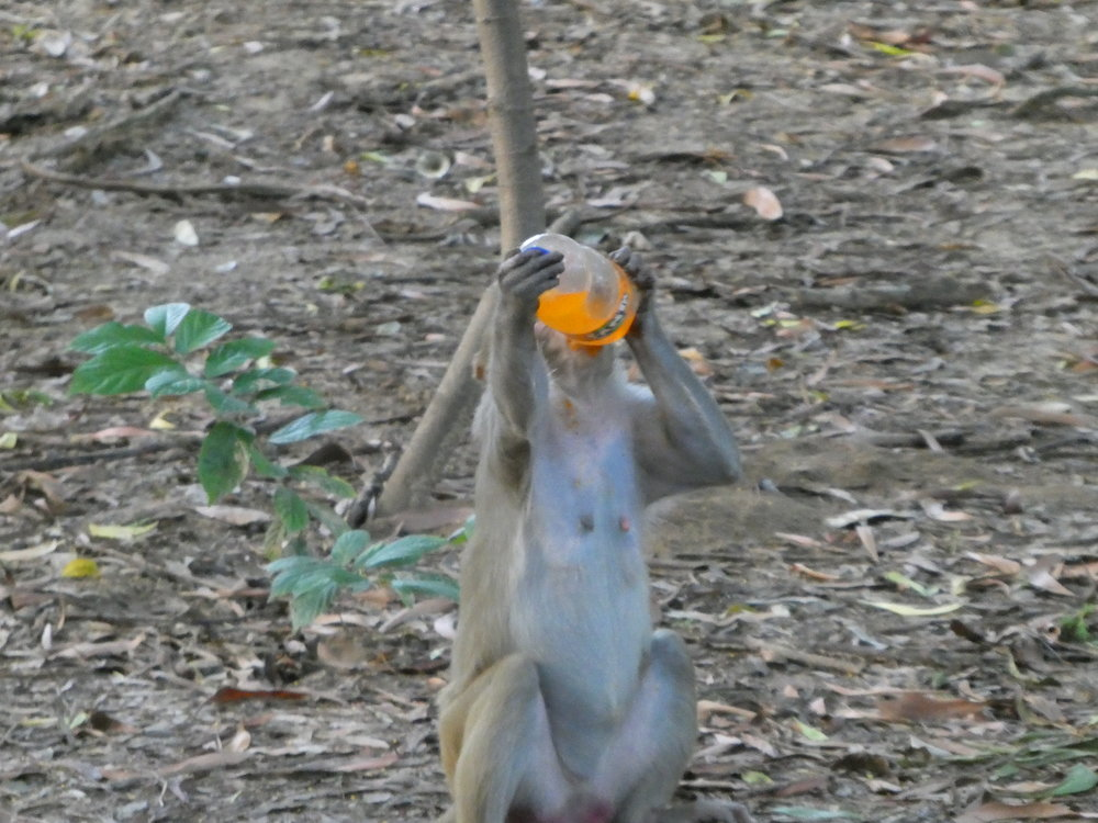 A monkey enjoys a refreshing (ill-gotten) orange Fanta.