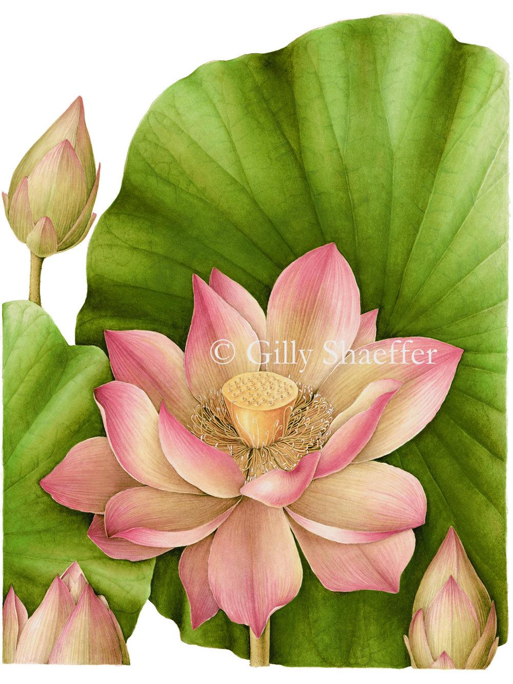 lotus copy.jpg
