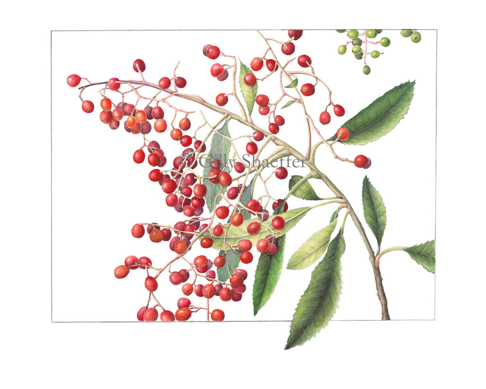 toyon-berries copy.jpg