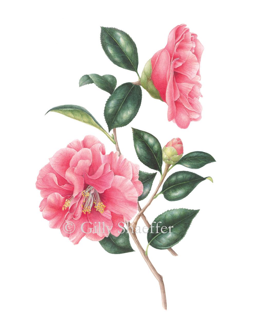 Camellia_1 copy.jpg