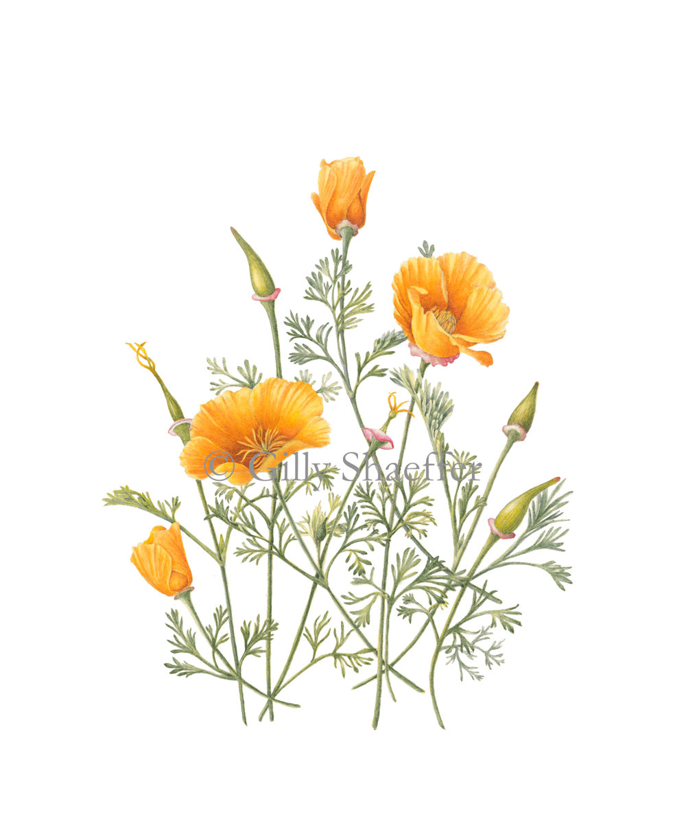 california-poppy-2 copy.jpg