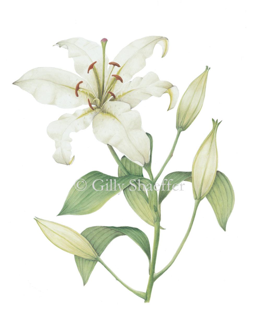 casa-blanca-lily copy.jpg