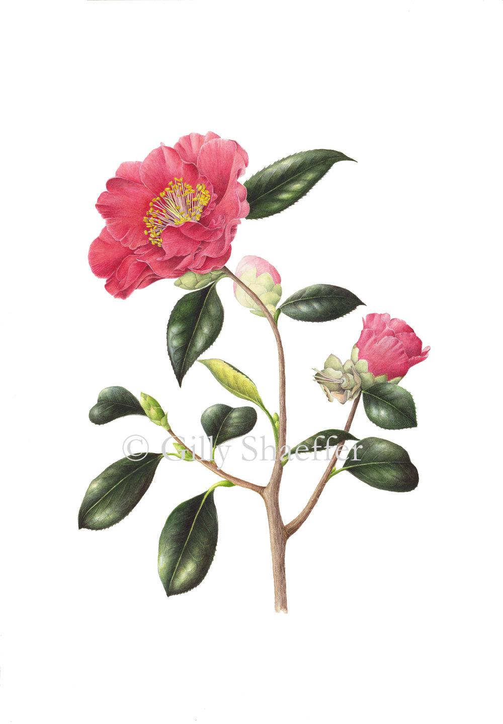 Camellia_2 copy.jpg
