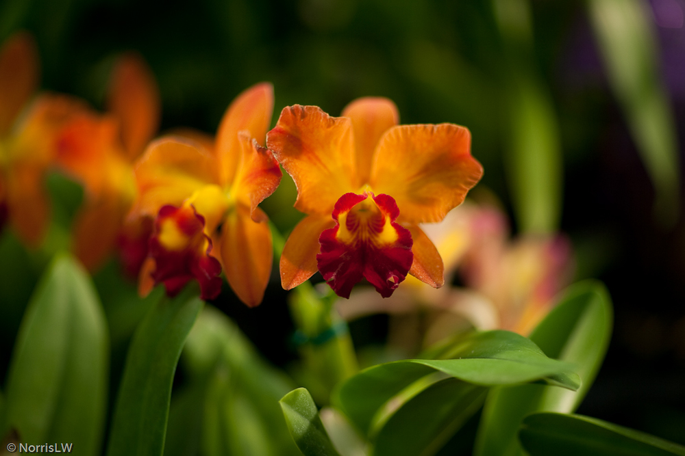 Manoa_Orchid_Show-2.jpg