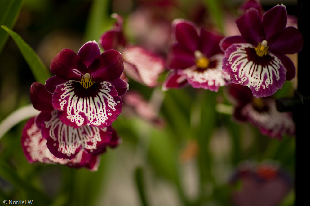 Manoa_Orchid_Show-3.jpg