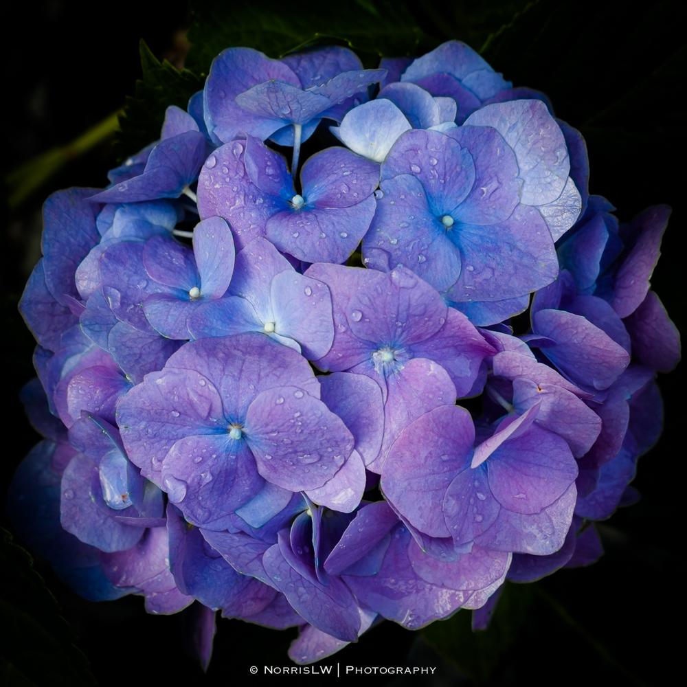 Hydrangea-20130402-001.jpg