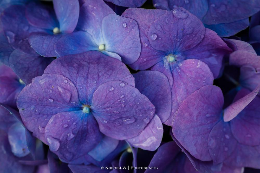 Hydrangea-20130402-002.jpg