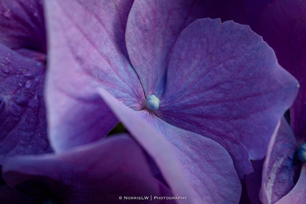 Hydrangea-20130402-003.jpg