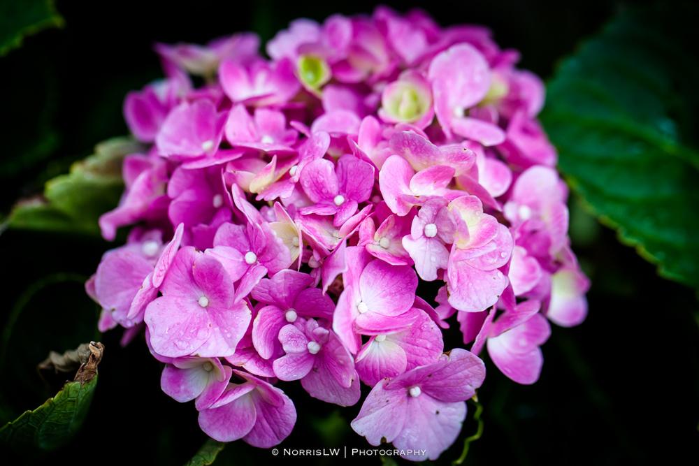 hydrangea-pink-20140914-001.jpg