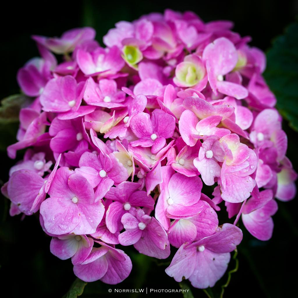 hydrangea-pink-20140914-002