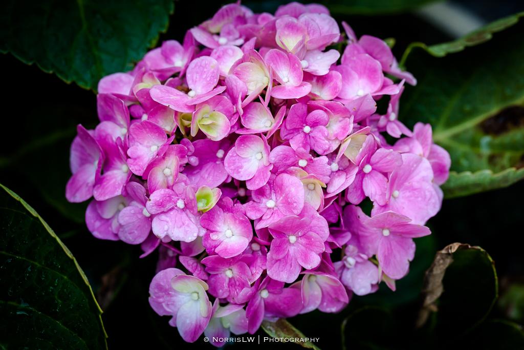 hydrangea-pink-20140914-006