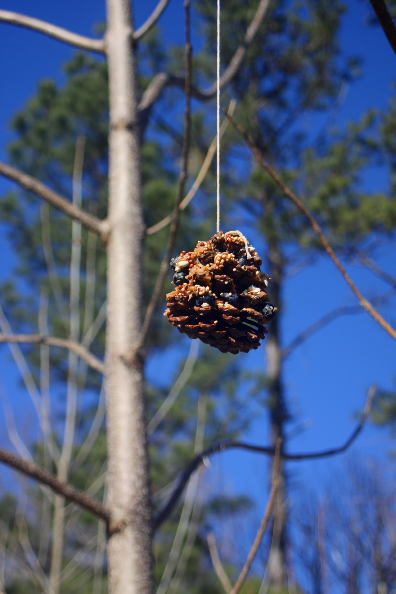 Pinecone bird feeder hanging from catalpa tree email.jpg