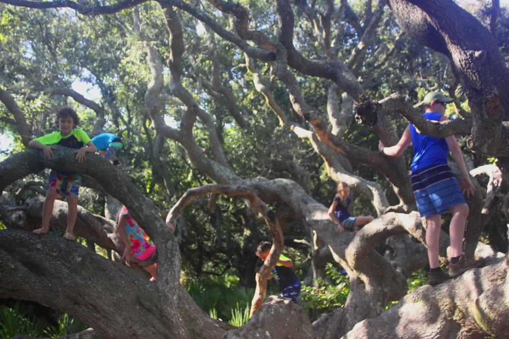 The climbing tree on Cumberland Island email.jpg