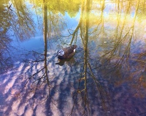 Duck decoy with reflection.jpg