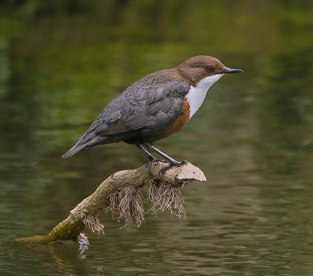 DIPPER by Ken Smith.jpg