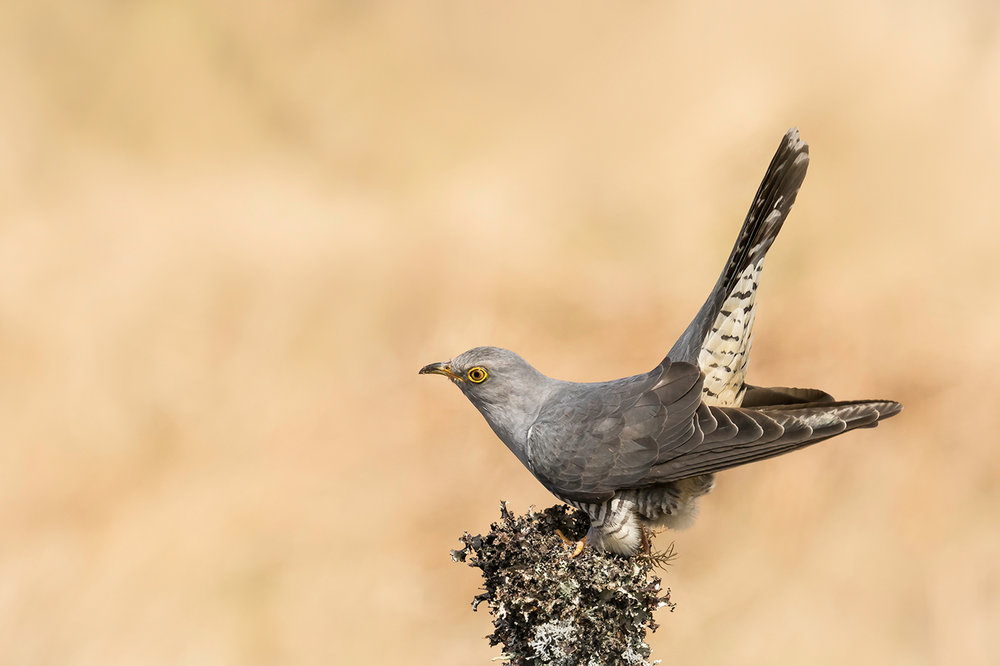 CUCKOO CALLING by Andy Smith.jpg