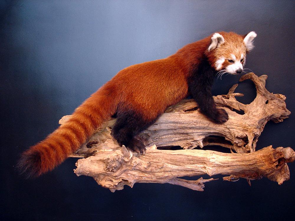Dirk Opalka Roter-Panda.jpg