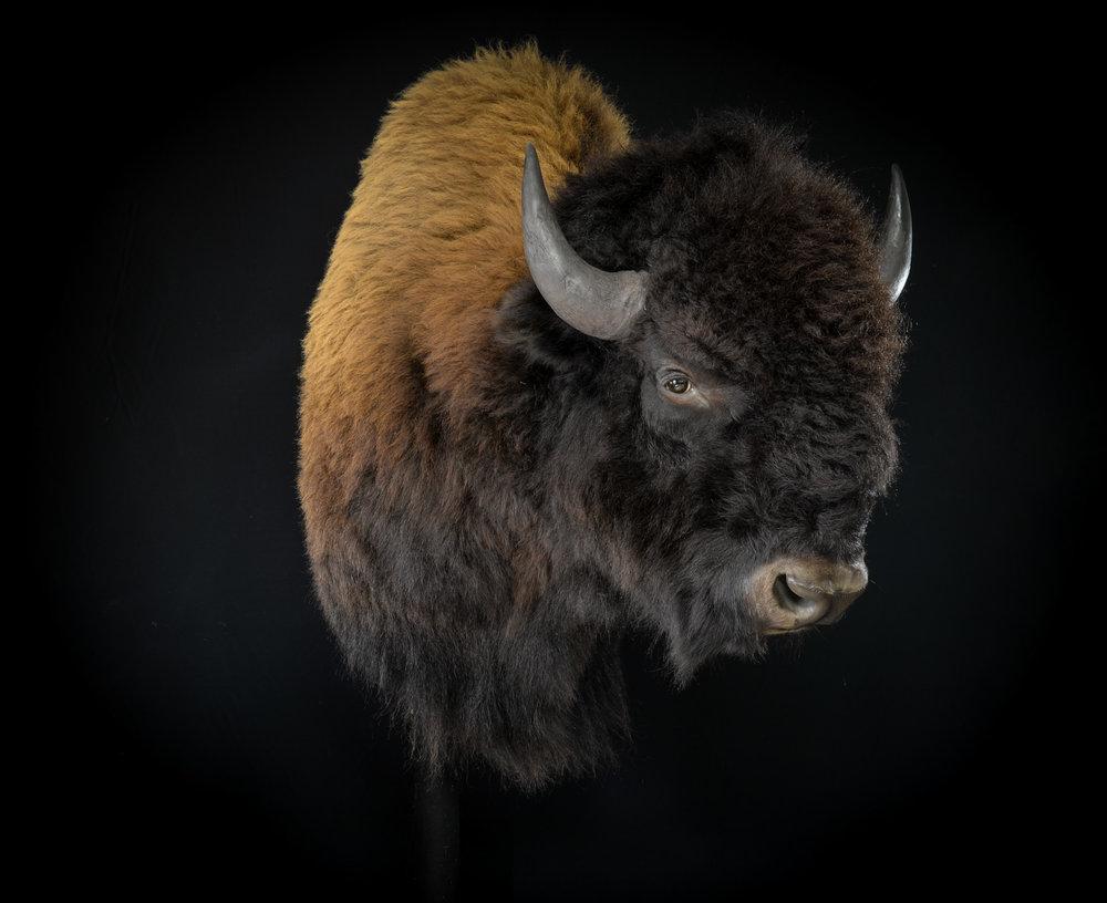 Bison - Dirk Opalka - DSC_4564.jpg