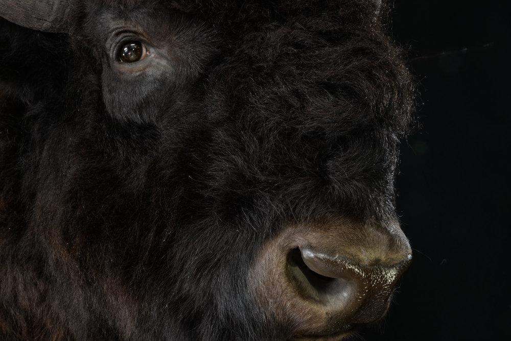 Bison - Dirk Opalka - DSC_4566.jpg