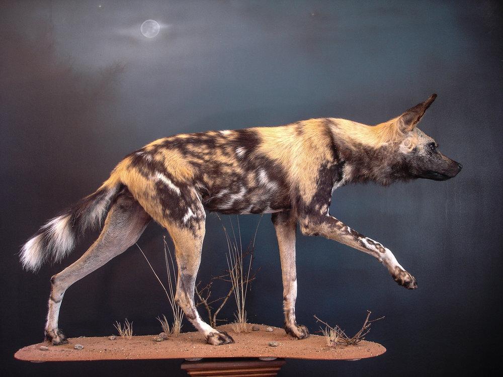 Dirk Opalka Wildhund Grosssäuger 4.jpg
