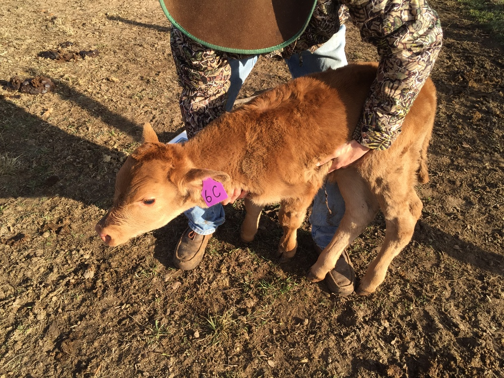 65 lb Birth Weight 15/16 Akaushi Bull Calf