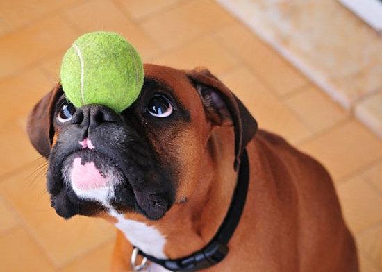 Resultado de imagen para boxer dog playing with balls