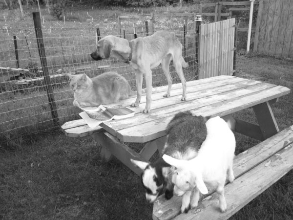 Newman with Gambo and the goats.