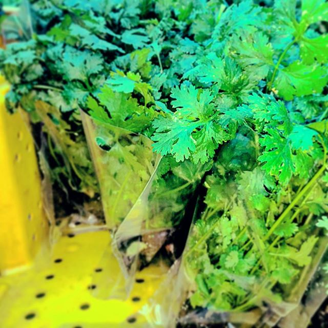 First February Harvest! Cilantro smell is refreshing to all!  #nycurbanag #lovemyjob #hydroponics #gourmetchef #cilantro #earlymorninggrind