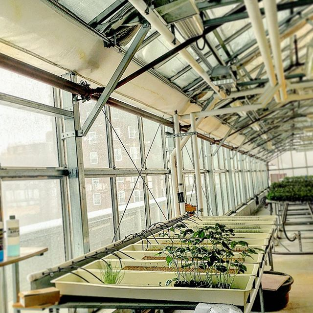 ❄️ Winter weather. Plants still living happy. #hydroponics #greenhousegrowing #urbanfarmer #nycurbanag