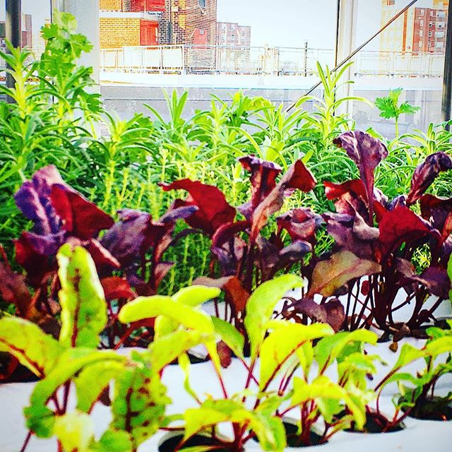 Nothing like some beautiful diversity and a perfect sunny ☀️to finish up the week!! #urbanfarmer #greenhousegrowing #nycurbanag #hydroponics #lovemyjob #urbanagriculture #bullsblood #babybeets #rosemary