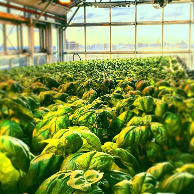 You wouldn't know it had snowed all day yesterday. #nycurbanag #urbanagriculture #hydroponics #greenhousegrown #lovemyjob #greenisgreat