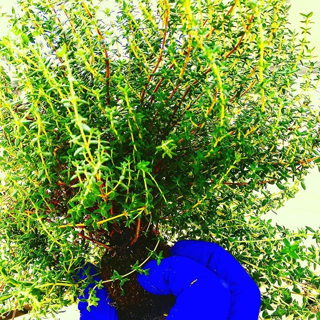 "This ""Summer thyme"" is sure to boost anyone's mood you don't even have to eat it to feel it's effects! #nycurbanag #greenhousegrown #urbanagriculture #summertime #puns4days #growyourown"