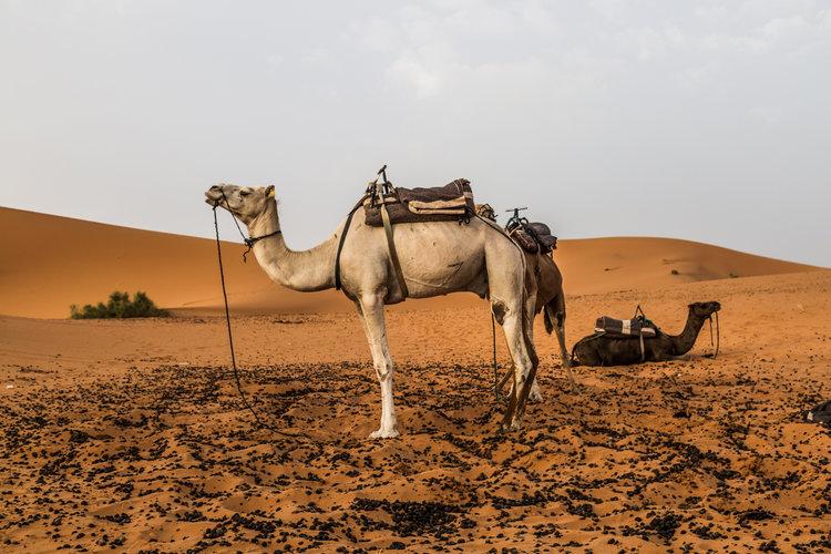 Sahara Desert, Camel