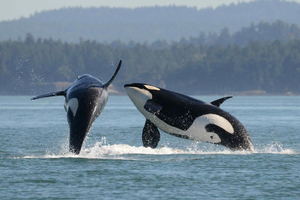PHOTOS TAKEN UNDER FEDERAL PERMITS-NMFS PERMIT: 15569/DFO SARA 388 K34 and K27 play in the Salish Sea but they, along with the other southern resident killer whales, are facing extinction if authorities don't do more to protect their habitat and food source, say scientists.