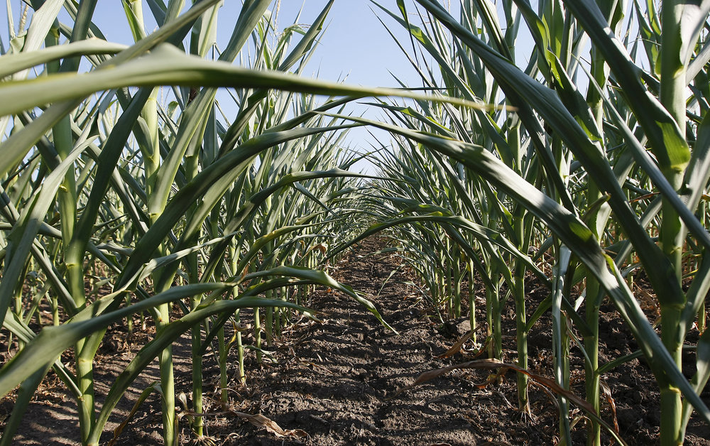 Drought-resistant crop development at Purdue University.  Tom Campbell
