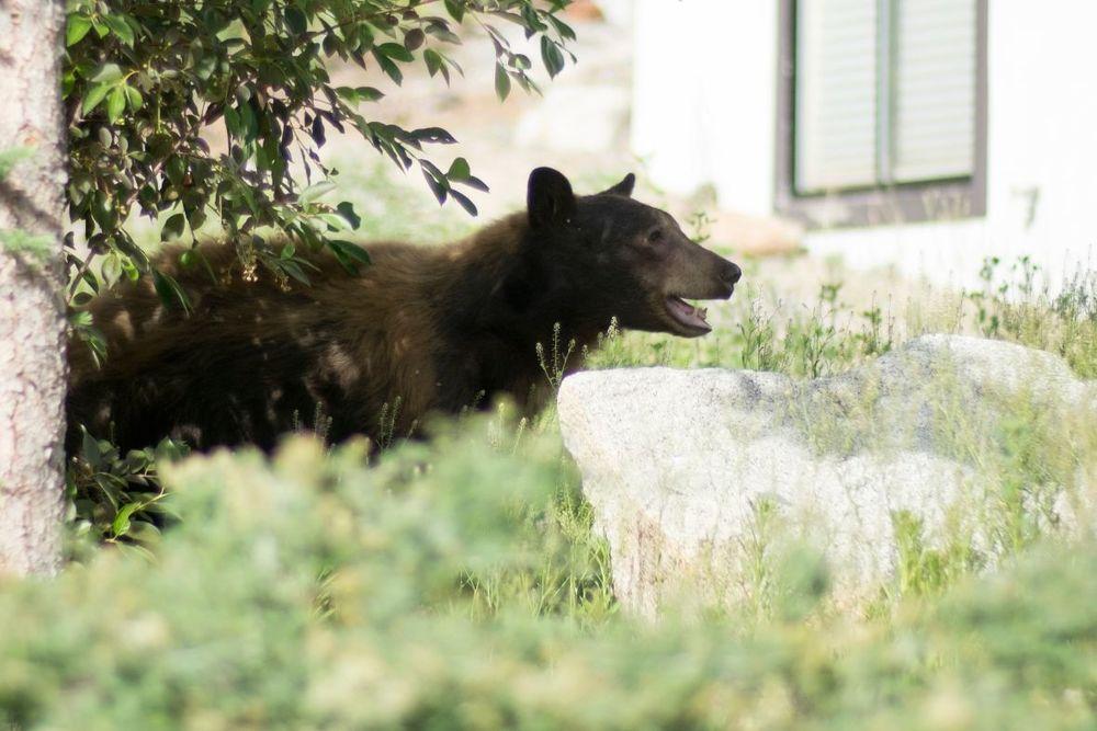 Bear Hiding in Tahoe.jpg