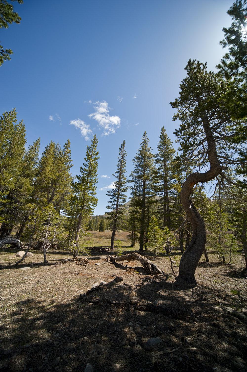 Gnarled Pine.jpg