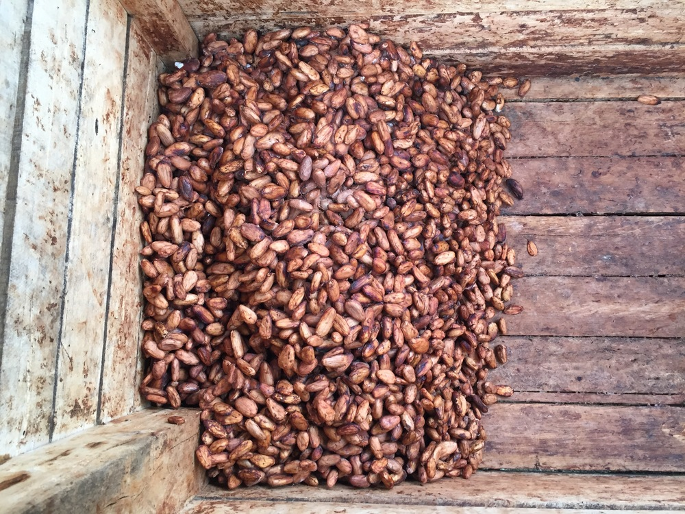 Fermentation of the cacao beans is fueled by the combination of sugars in the white pulp and oxygen in the air