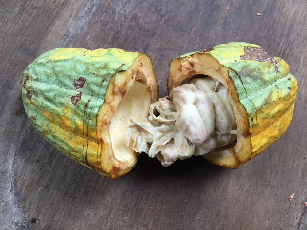 A freshly opened cacao pod at La Iguana Chocolate's farm in Mastatal, Costa Rica.
