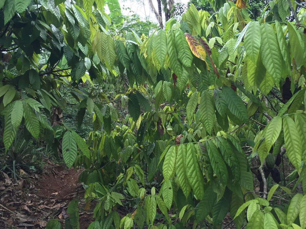 Standing in the thick, waxy green foliage of cacao trees at La Iguana