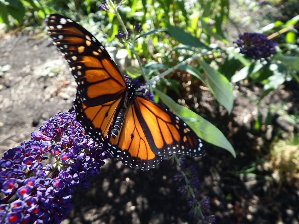 A monarch takes nectar from a flower in Vermont. Monarchs fly as far north as Canada during the spring and early summer months. Photo by Isabel Snyder.