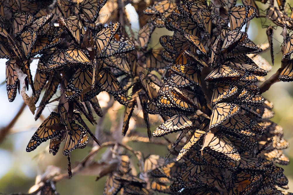Many monarchs from the West Coast winter in southern California, like the ones above. In recent years, many of the trees the butterflies require for wintering have been targeted for logging. Photo from the Fish and Wildlife Service.