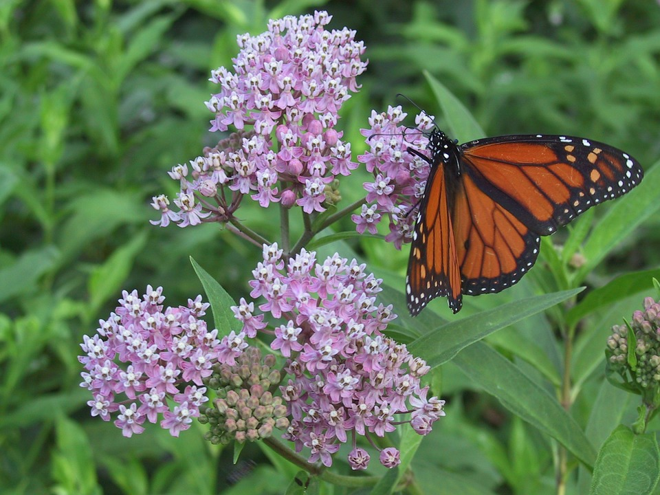 A monarch butterfly drinks nectar from a milkweed plant. Milkweed is an essential in monarch gardens. Photo from pixabay.